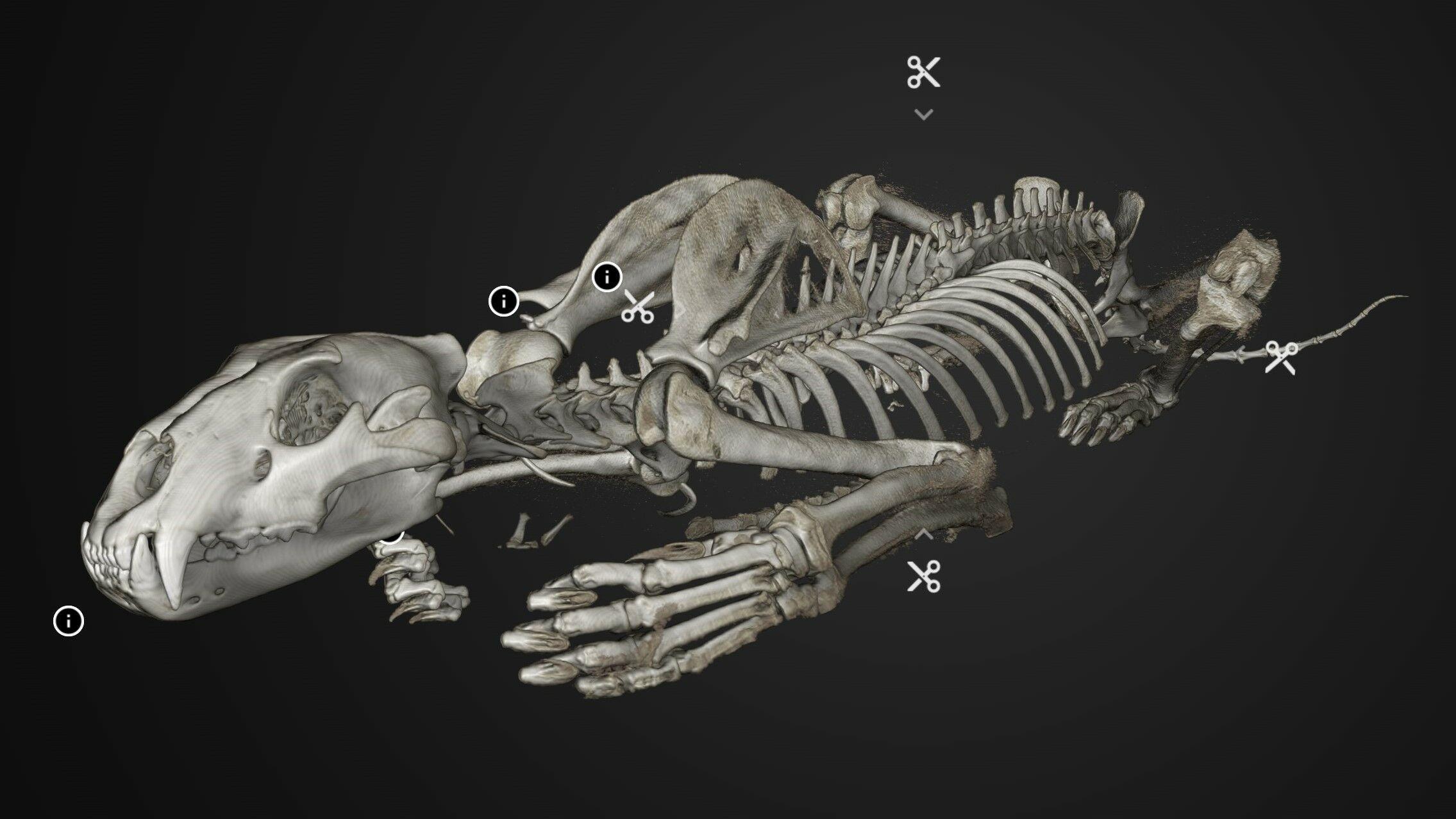 Interactive 3D-visualization of lion skeleton exhibited in Inside Explorer