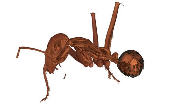 Ant_Desert_05