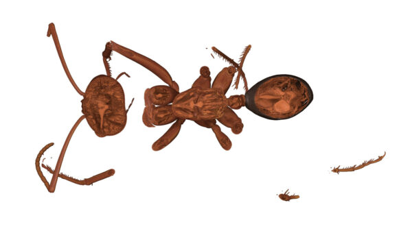 Ant_Desert_07