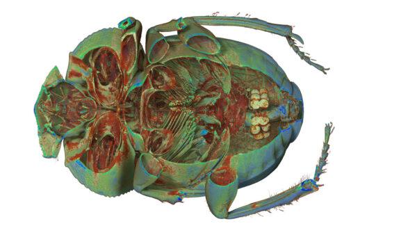 Beetle_Dung_07