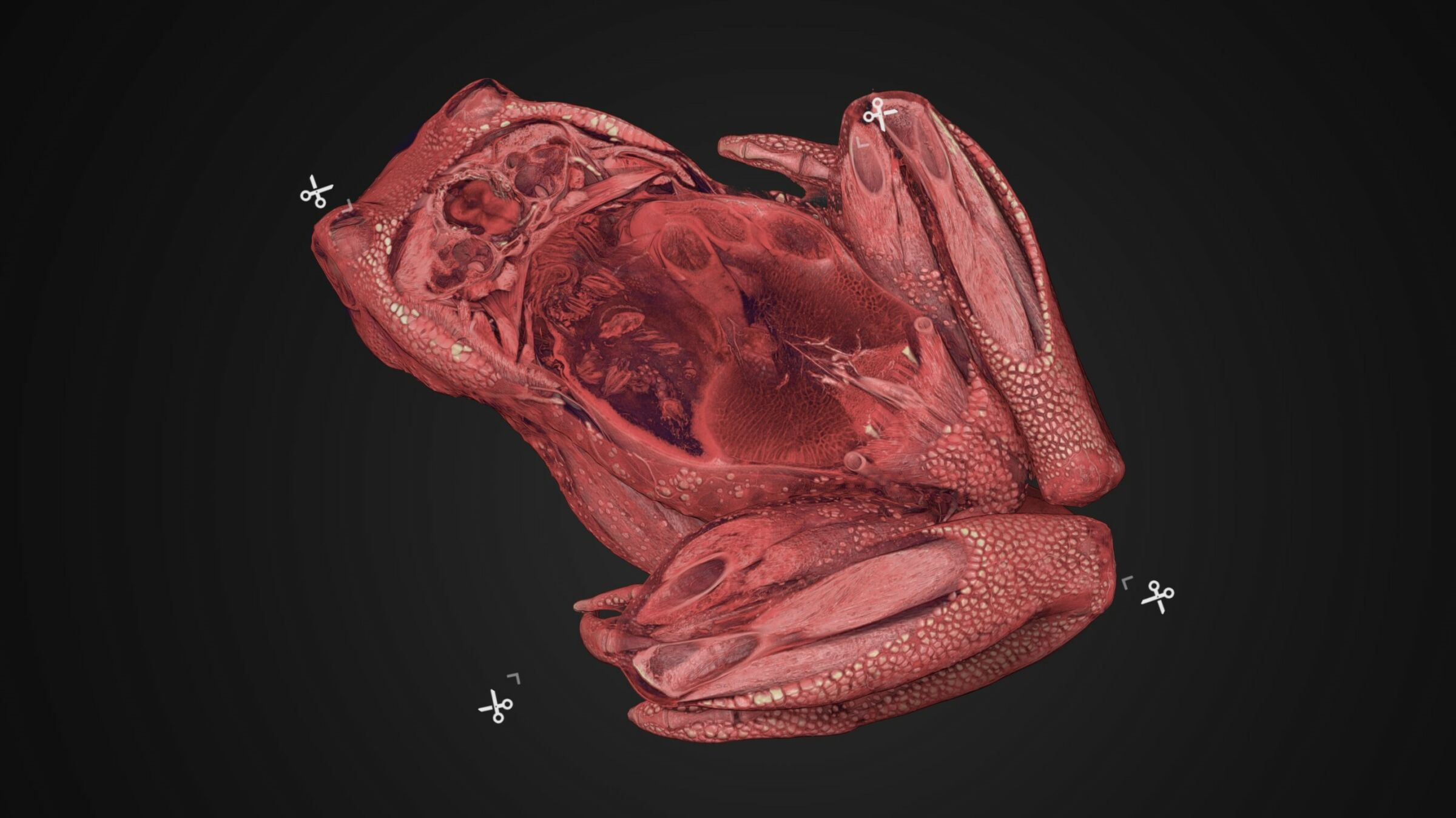 Interactive 3D-visualization of frog exhibited in Inside Explorer used for digital dissection